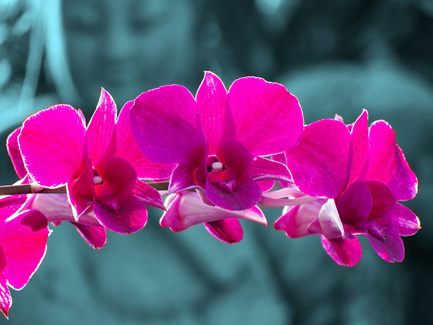 Орхидея – визитная карточка Тайланда